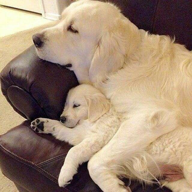 Golden Retriever puppy and mom Pet Accessories, Dog Toys, Cat Toys, Pet Tricks