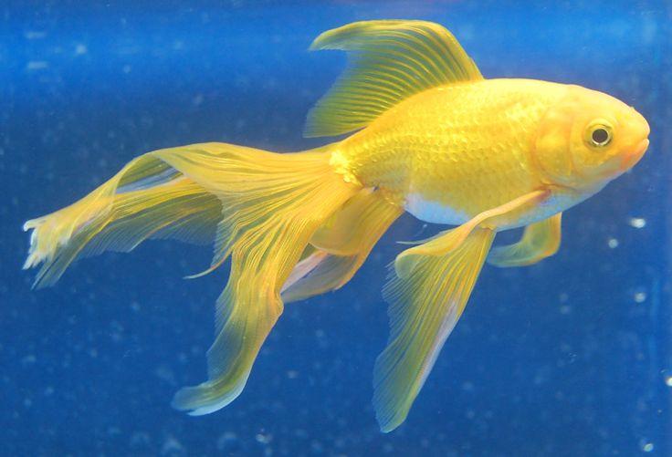 Watunai (Goldfish)