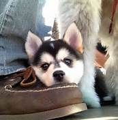 Pomsky Puppies for Sale in Us - Bing Images