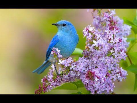 Пение соловья и лесных птиц: активизация всех систем организма. Очищает помещение от негатива - YouTube
