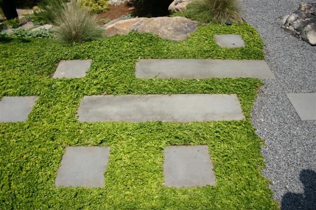 Creeping Jenny Google Image Result For Http Www