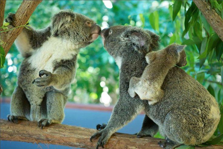 Some koala love...it's not just big crocs at Hartley's Crocodile Adventures!