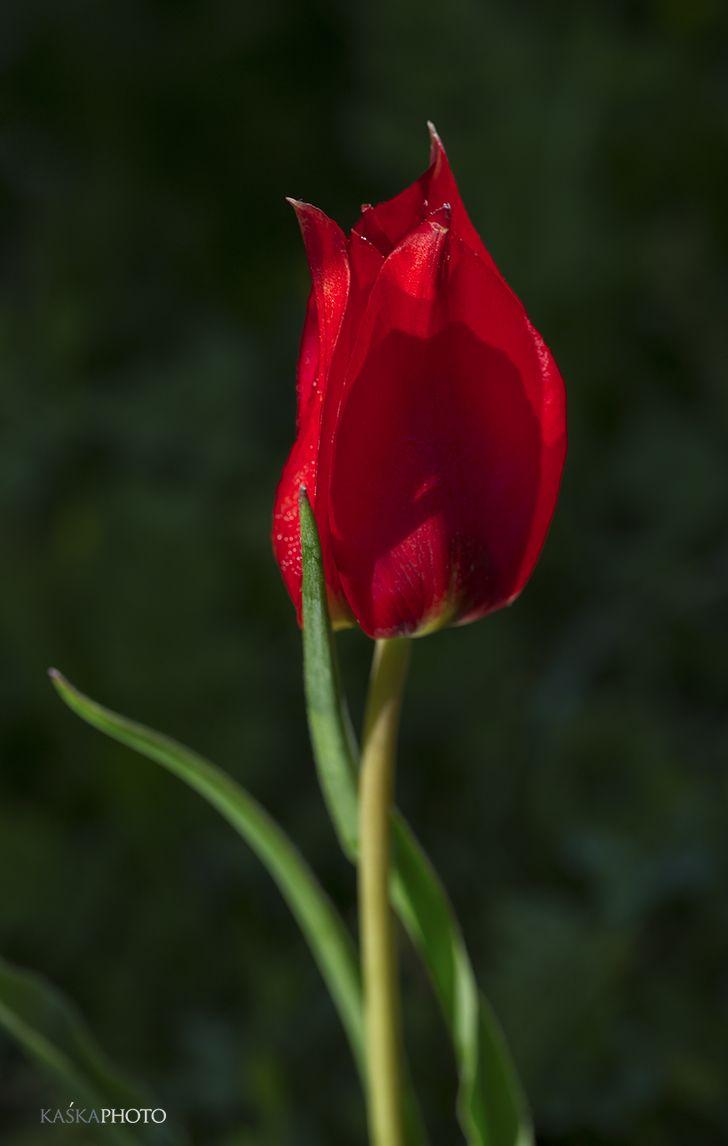 Kaska Photo » Flowers  #dzikitulipan #tulipan #natura #wiosna #czerwonekwiaty #łąka #morze #park #KaśkaSikora #sikora #zdjęcia #KatarzynaSikora