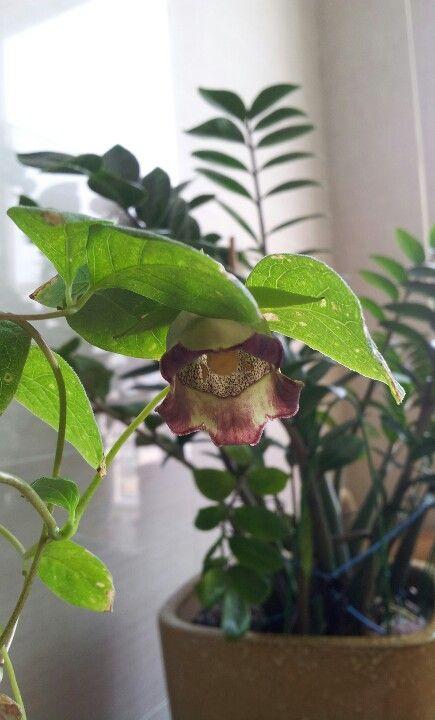 Lanceolata Flower in Korea
