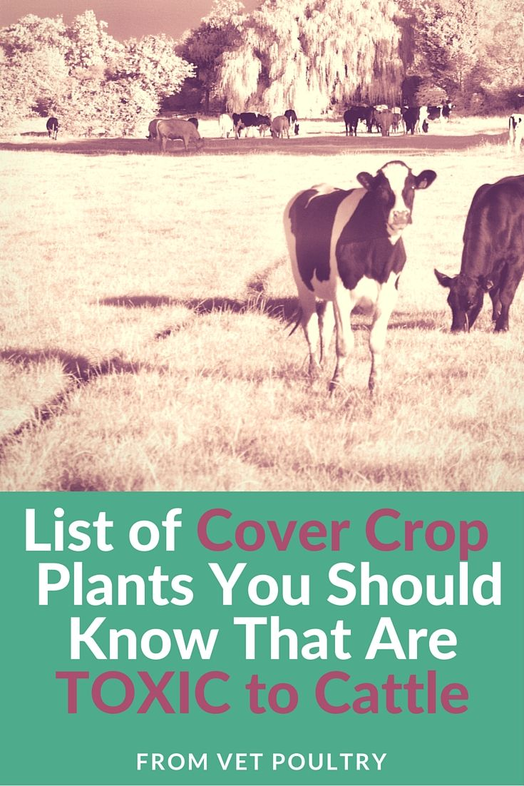 Crucial list of cover crop plants that can potentially kill cattle!
