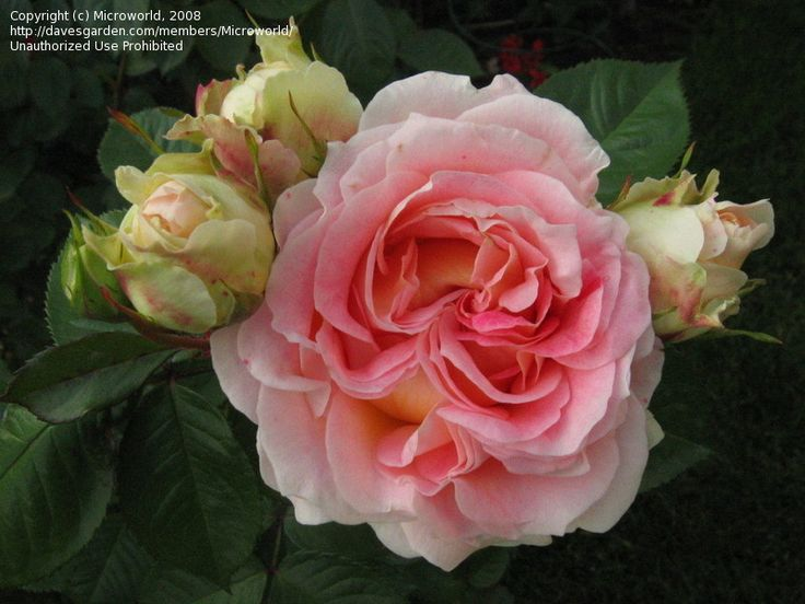 17 best images about romantica roses from meilland for Rose meilland