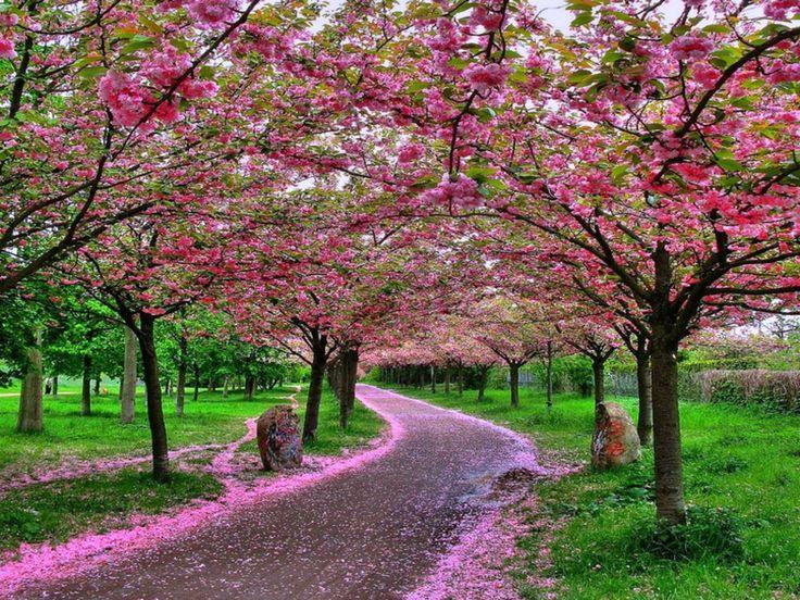 Japan Wallpaper Sakura