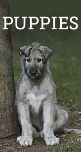 Irish Wolfhounds - they sound so perfect. Wish we had a house and property large enough for one to play