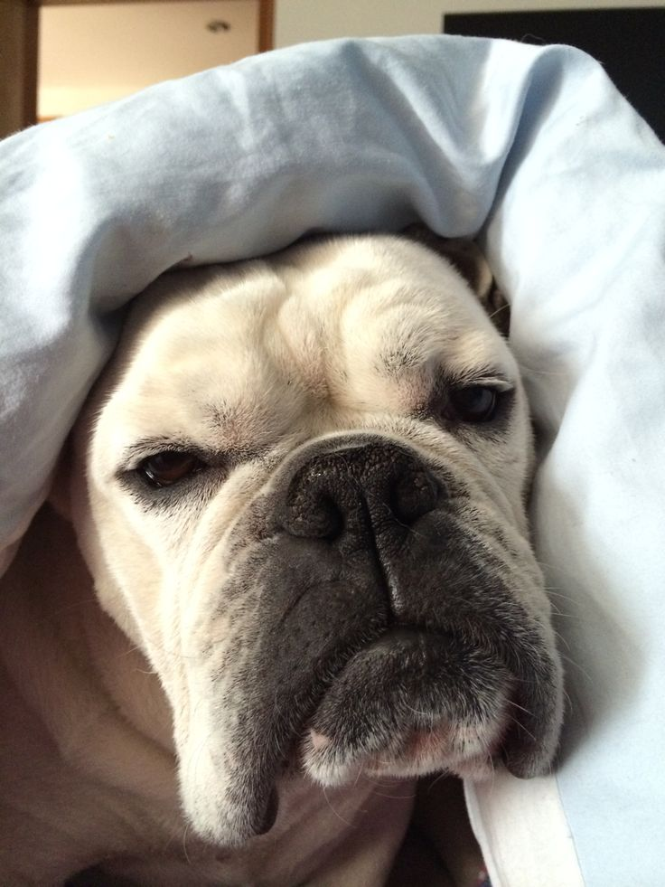 English bulldog looking like an old lady.