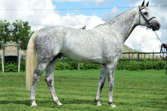 New world-wide Holsteiner horse studbook established ...
