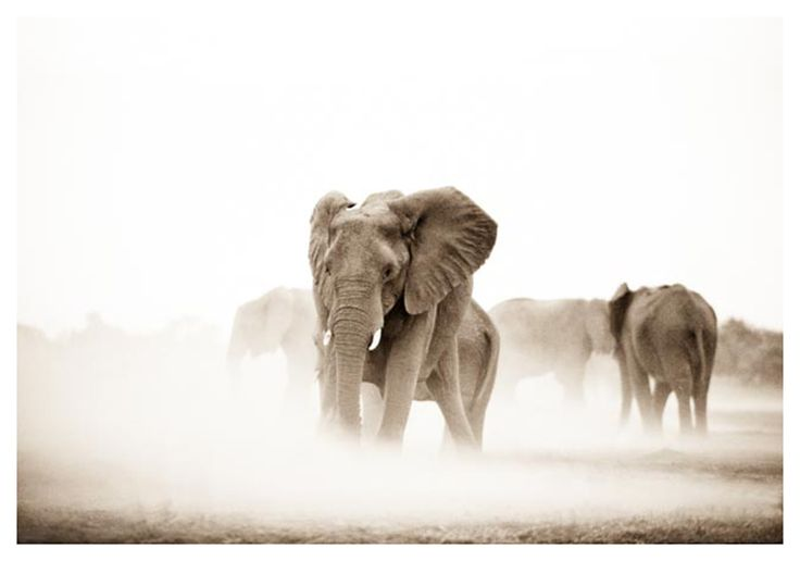 elephant herd in dust print