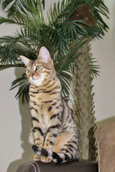 Client Brag Page - Savannah Cats - Select Exotics Teka F5 Savannah #savannahcats #exoticcats #cats