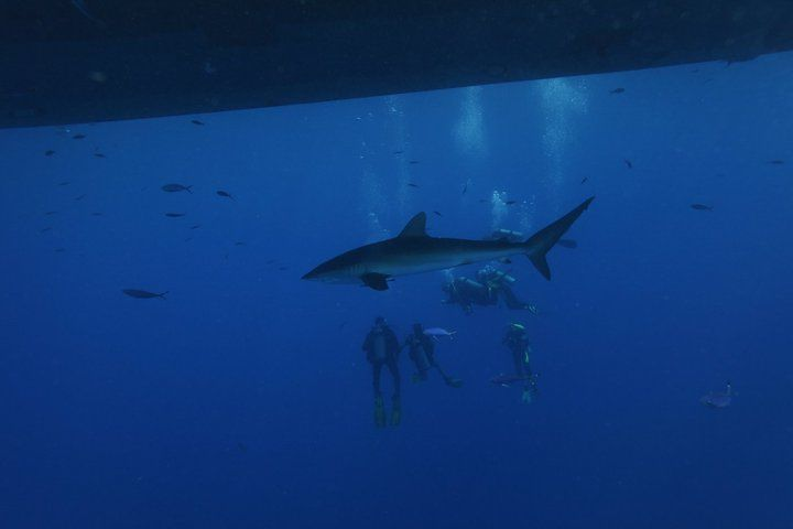 Silky shark under the boat@ Daedalus Reef - June 2010 - Red Sea