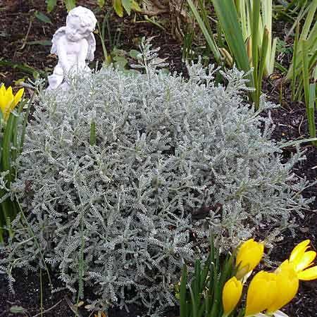 17 meilleures id es propos de arbuste feuillage persistant sur pinterest plante persistant - Polygala myrtifolia feuilles jaunes ...