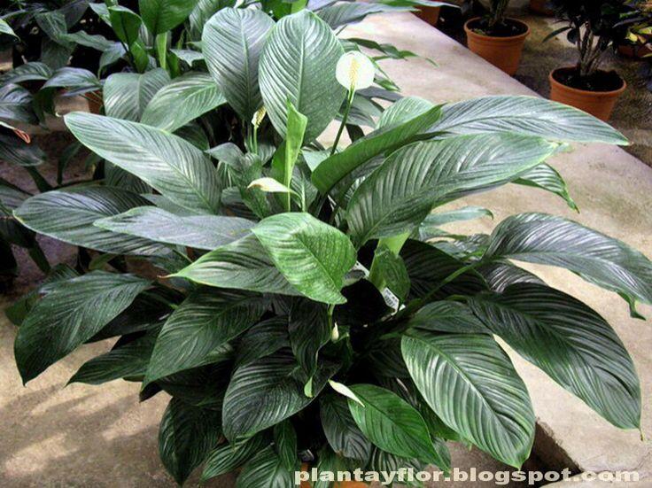 Cuna de mois s spathiphyllum wallisii ragel tiene hojas - Plantas de hojas verdes ...