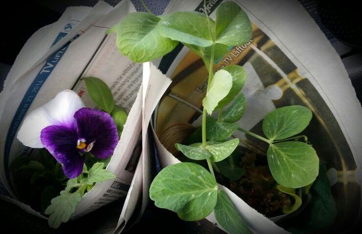 Sweet peas & pansies ready to plant!