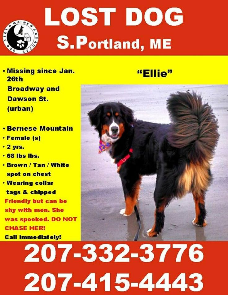 17 Best Images About Bernese Mountain Dog Us Lost Dog Registry On Pinterest Gardens The 90s
