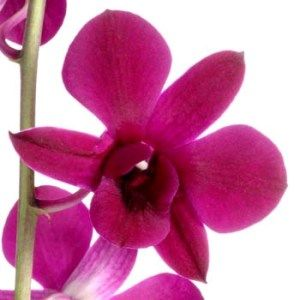 hot pink loose dendrobium orchid blooms from fiftyflowers.com $129.99 for 200