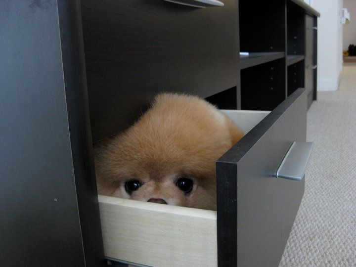 Boo the dog hiding in a drawer. So cute!