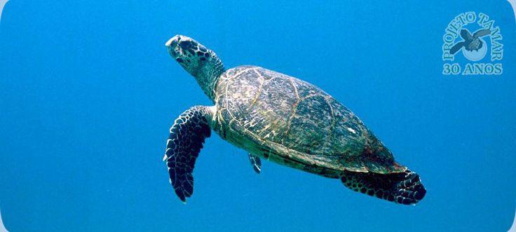 Tartarugas Marinhas - Informativo - Praia da Pipa - Tibau do Sul - RN - Brasil