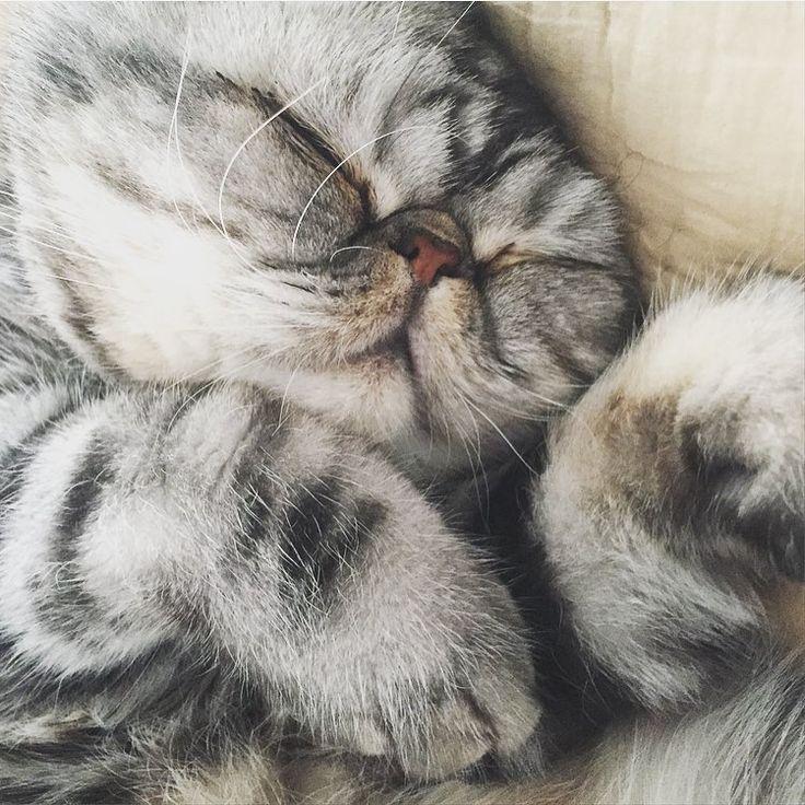 "2,175 likerklikk, 38 kommentarer – Triana Iglesias (@trianaiglesias) på Instagram: ""Fluffy Cuddle Fish.... #fishthecat #zzzz #exoticshorthair #meow #catoftheday #fis #thefluffyone"""