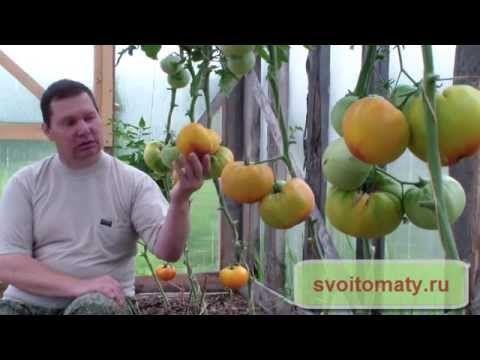 Сорта томатов для выращивания в теплице - YouTube