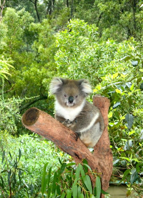 A bear's world: Awesome Animal, Australian Wildlife, Animals Nature Fam People, Cutest Koalas, Animalitos 11, Australian Koalas, Minnesota Zoos, Koalas Bears, Australia Animals Nature Fam