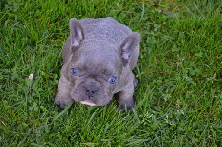 Französiche Bulldogge blau, blau-weiss,... (Horní Libchava) - Französische Bulldogge - dhd24.com