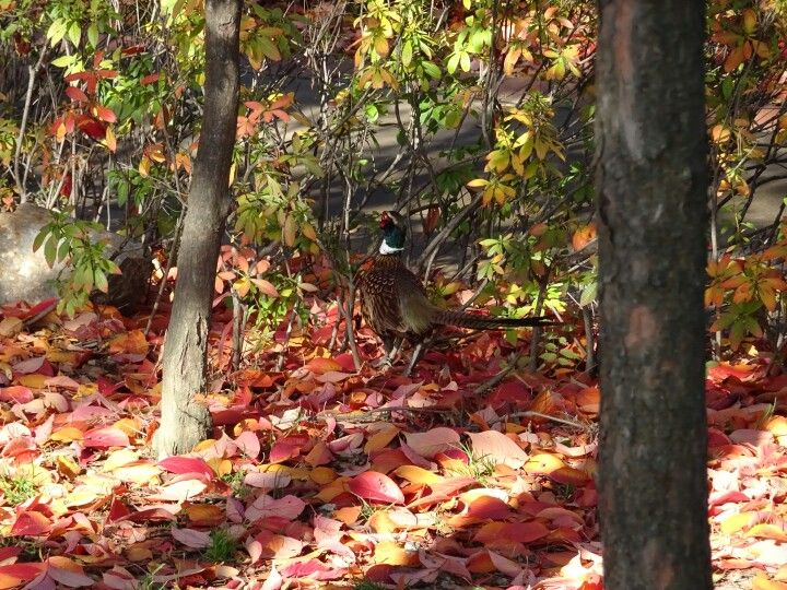 Pheasant in the leaf litter.