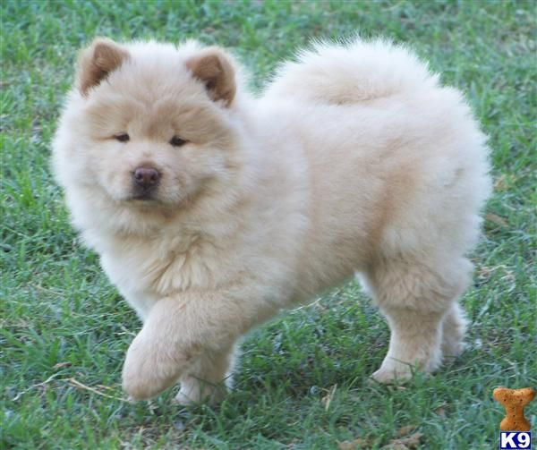 Chow Chow Puppy!!!!