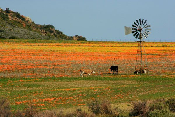 Namaqualand Spring Flowers, South Africa