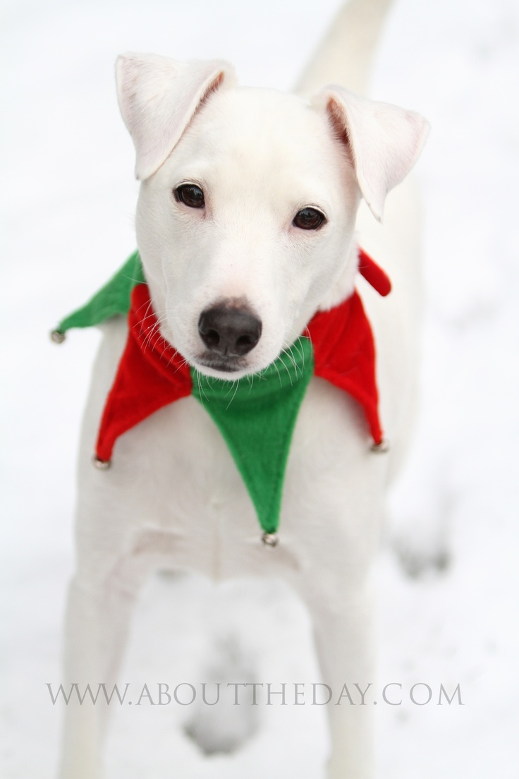 Jack Russell #Terrier #Christmas #Portraits
