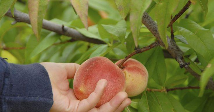 Im zeitigen Frühjahr stehen die Chancen gut, der Kräuselkrankheit am Pfirsich mit einem biologischen Pflanzenstärkungsmittel vorzubeugen. Was sonst noch wichtig ist, um die Pilzkrankheit in den Griff zu bekommen, lesen Sie hier.
