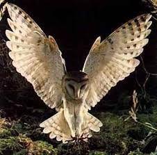 Resultado de imagem para coruja de asas abertas