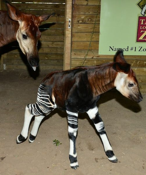 """OKAPI CALF: This rare forest giraffe also known as a okapi was the first of its kind born in North America in 2013. Now a little over three weeks old, the calf is learning how to """"nest"""" at the Tampa zoo it calls home. This is a practice where young animals hide themselves from predators — an important skill in the wild and a good way to hide from cameras at the zoo."""