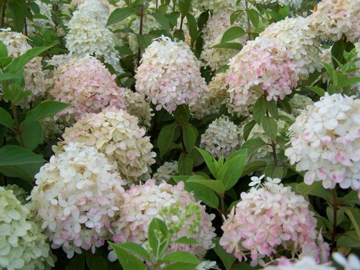 hydrangea paniculata 39 phantom 39 planten plants pinterest. Black Bedroom Furniture Sets. Home Design Ideas