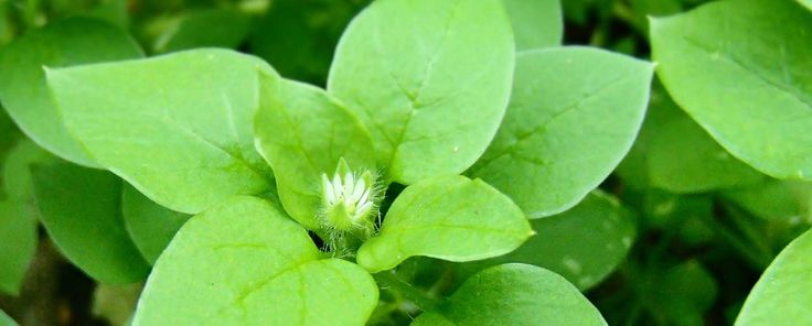 how to kill chickweed in vegetable garden