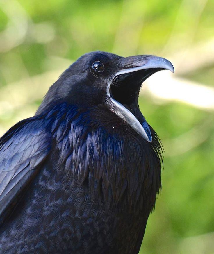 Your daily raven having a big yawn via Wendy Davis Photography FB