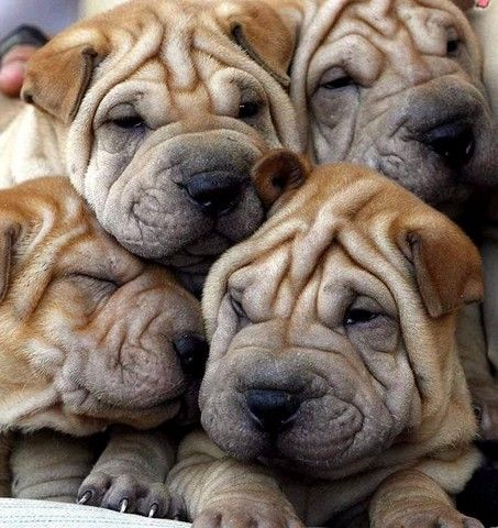love wrinkle dog faces!! so adorable