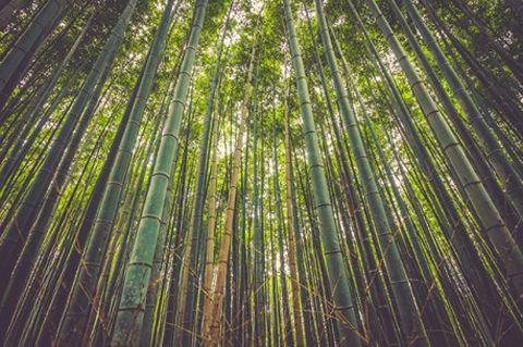 🌳W różnych zakątkach świata można znaleźć nietypowe i interesujące gatunki roślin. Jednym z nich jest bambus, którego nazwa rzekomo wzięła się od odgłosu jaki wydają palące się łodygi tej rośliny. W Chinach roślina ta jest też symbolem długowieczności: https://fedkolor.pl/glowna/2046-bambusowy-las.html 👴👵  Kontakt: ☎ +48 606 683 938 📧 biuro@fedkolor.pl  #obraz #bambus #ciekawostka #las
