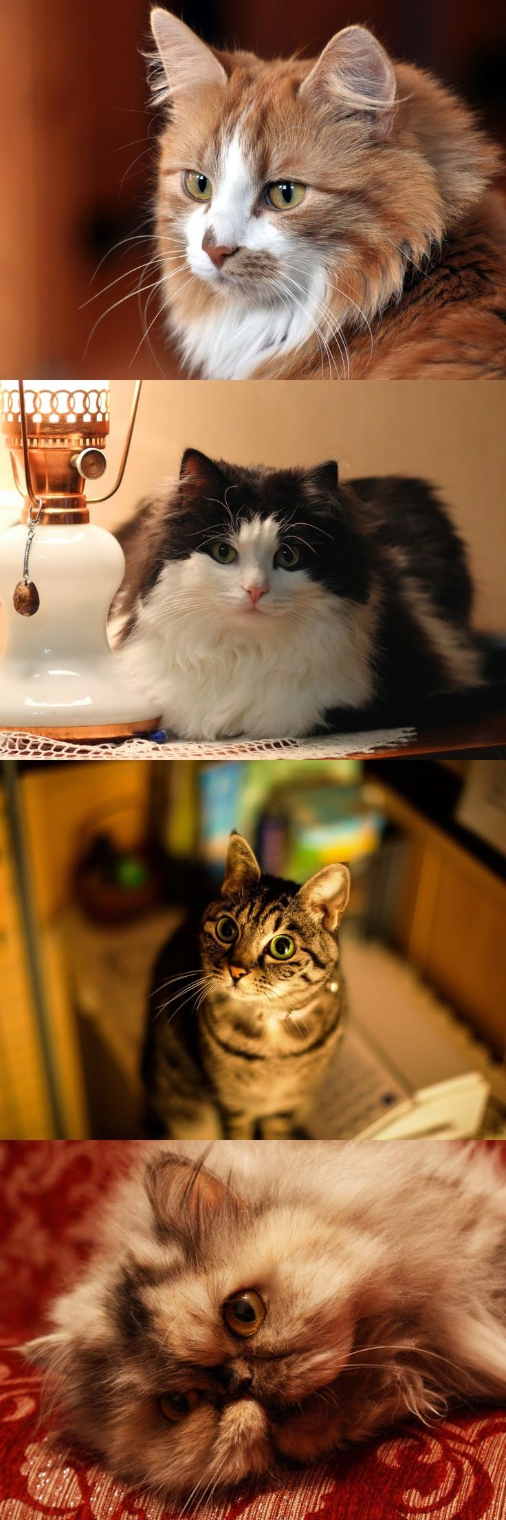 12 best Cute Kittens Love images on Pinterest