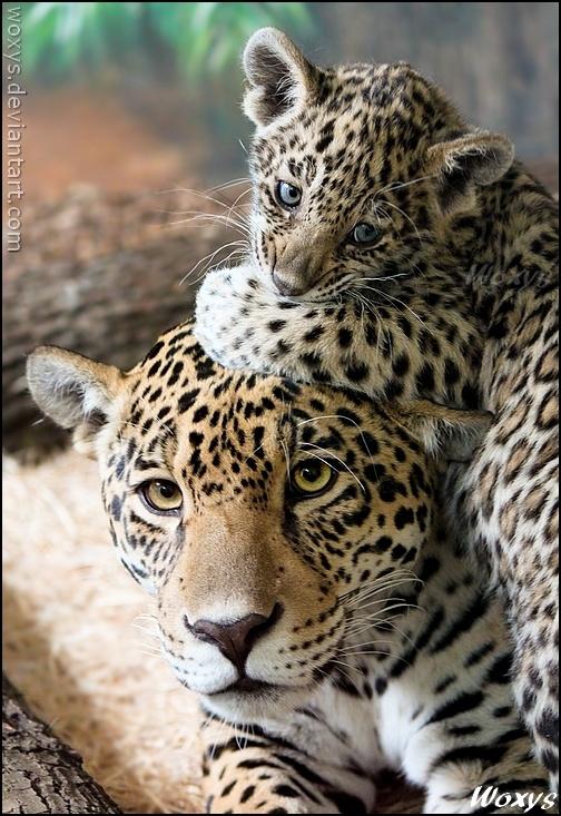 jaguars animals cubs - photo #19
