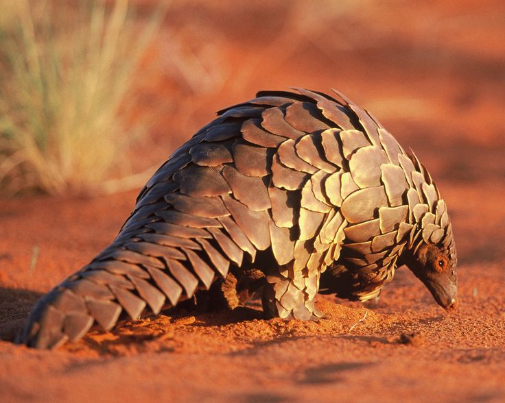 Pangolins (also referred to as scaly anteaters or trenggiling) are mammals of the order Pholidota. Species range in size from 30 to 100 centimetres (12 to 39 in).    Pangolins have large, protective keratin scales covering their skin; they are the only known mammals with this adaptation. They live in hollow trees or burrows, depending on the species. Pangolins are nocturnal, and their diet consists of mainly ants and termites which they capture using their long, specially adapted tongues.