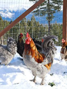 Chickens In The Winter