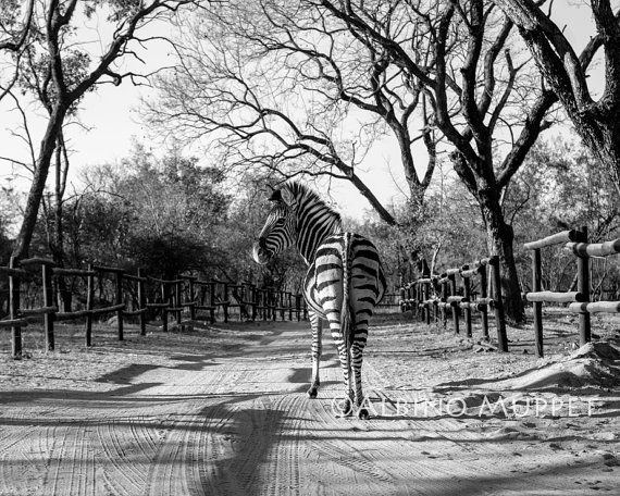 Nice photo of a young zebra walking down a roadway in Zimbabwe