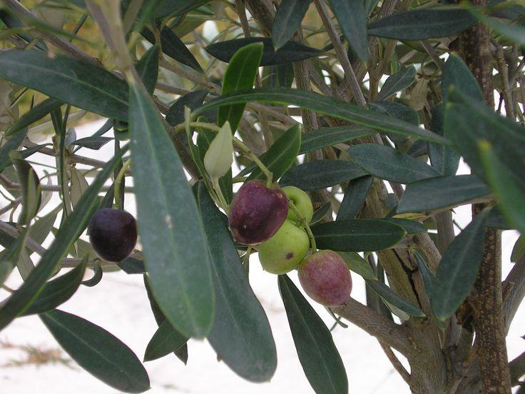 De eerste olijven aan onze eigen boom - Saint Léon s/V - oktober 2007