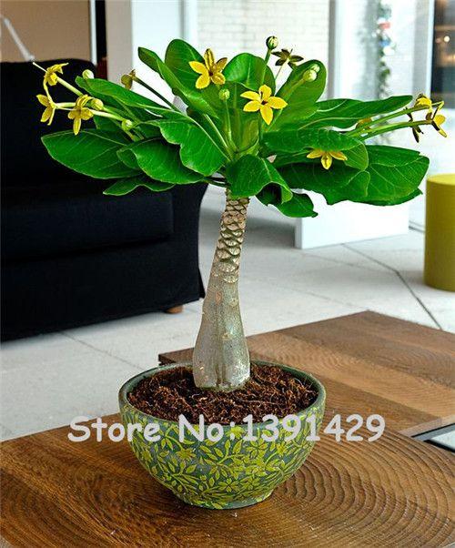 5 шт. мини Pachira крупноплодный семена, гавайский сделать денежное дерево завод, Карликовые деревья горшок Комнатные цветы Семена, бесплатная доставка