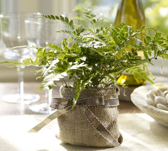 Live Rabbit Foot Fern | Pottery Barn - make this with our burlap!