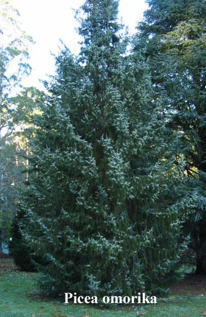 """Picea omorika """"Serbian Spruce"""" A handsome tree of tapering, spire-like habit. The branches become pendulous with age. The grey-green foliage has silver tones beneath."""