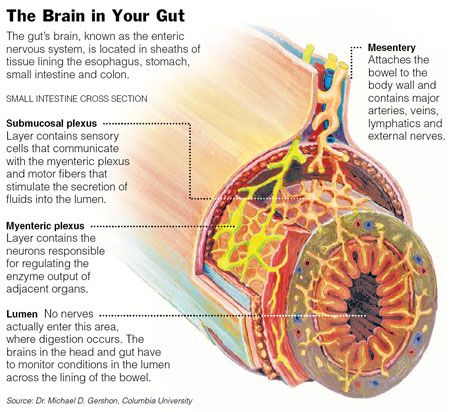 """enteric nervous system and """"the brain in our gut""""  from brokenbrilliant"""